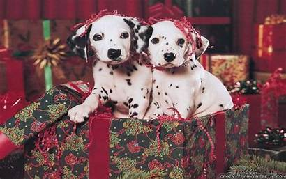 Christmas Puppies Dalmatian Puppy Wallpapers Dog Crazy