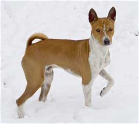 Basenji Shedding A Lot basenji