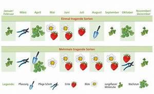 Erdbeeren Richtig Pflanzen : erdbeeren pflege pflanzen d ngen und schneiden mein ~ Lizthompson.info Haus und Dekorationen