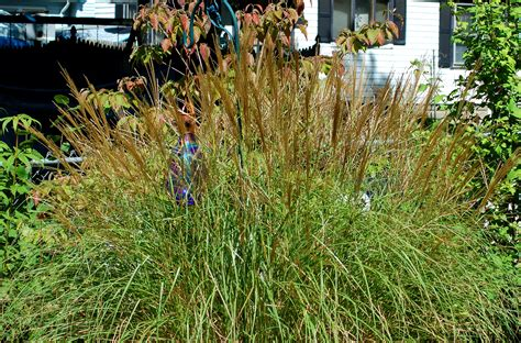 types of grass in india ornamental grass a low maintenance alternative