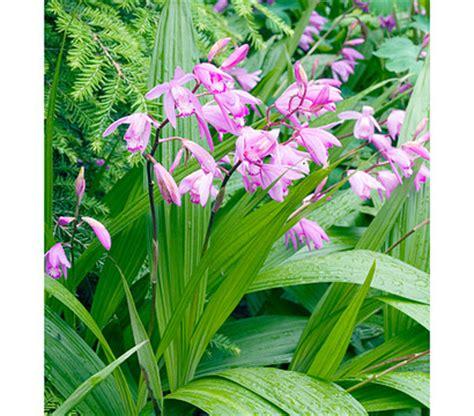 Gartenorchidee Pflanzen Und Pflegen by Japanorchidee Gartenorchidee Rosa Dehner Garten Center