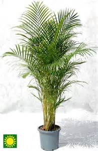 cat safe plants cat safe plant golden palm garden