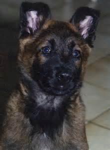 berger belge dog breeds picture