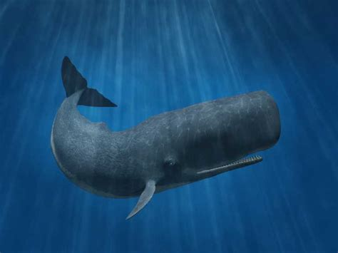 sperm whale facts history  information  amazing