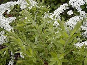 Spiraea Cinerea Grefsheim : photo gallery spiraea x cinerea 1 garden ~ Orissabook.com Haus und Dekorationen