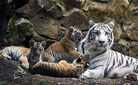 fotografia bichos filhotes de tigre