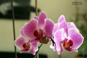 Orchidee Blüht Nicht Mehr : orchidee daheim unterwegs marinas welt ~ Lizthompson.info Haus und Dekorationen