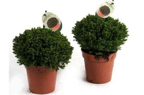 cespugli sempreverdi con fiori piante sempreverdi ricadenti da esterno con tutti i tipi