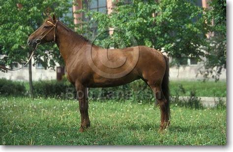 horses lokai horse pony breeds native boblangrish game having european region comes mountain tajikistan usually sized teen pregnant local asian