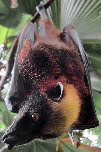 Flying Fox Crowned Golden Giant Bat Wiki