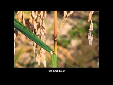 rice diseases rice blast youtube