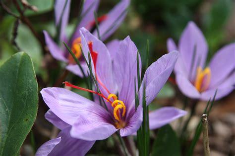 black gold growing saffron crocus sativus