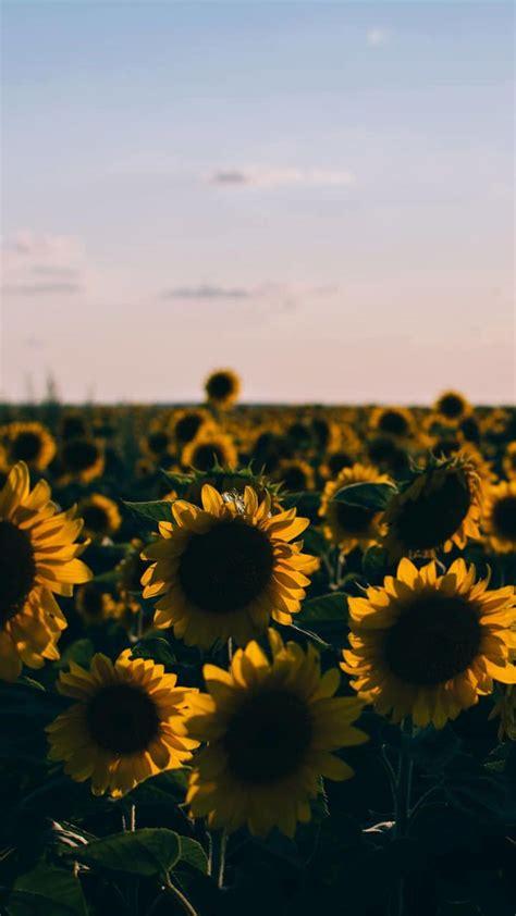 50 yellow aesthetic sunflowers hd wallpapers desktop