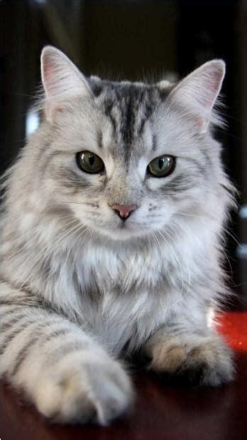 bagus  wallpaper keren  kucing rona wallpaper