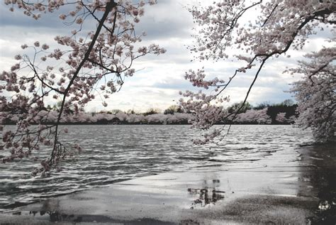 harty cherry blossoms   rain