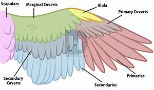 Bird Anatomy Drawing  Step By Step  Drawing Guide  By