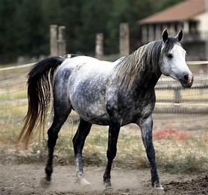 Dapple grey horses | Shades of Grey | Pinterest
