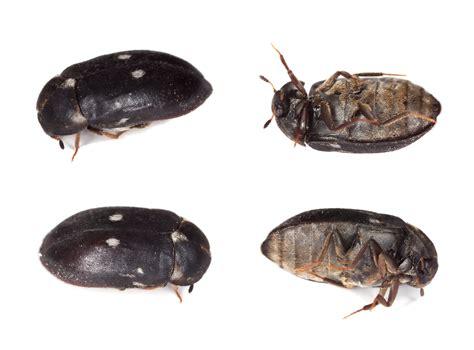 P.e.i. Pest Control Capital Carpet Cleveland Cleaning Mcdonough Ga Emw Carpets City Racine Red Carwash Bismarck Burleson Tx Lincoln Nebraska Beetle Bugs