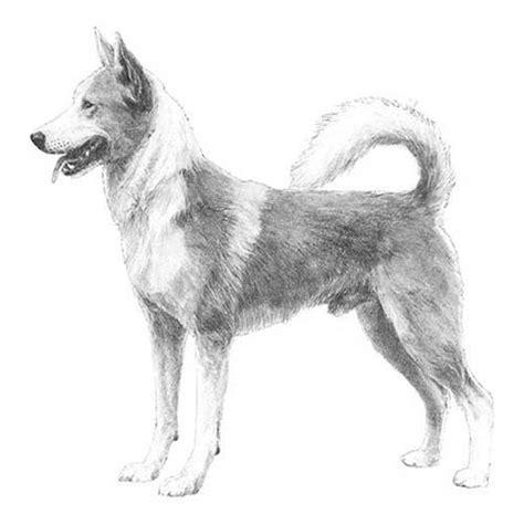 canaan dog dog breed information