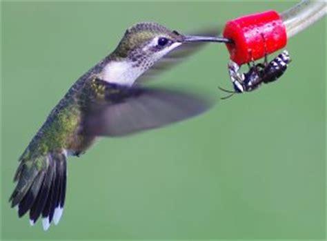 hummingbird feeders reviews faqs nectar recipe