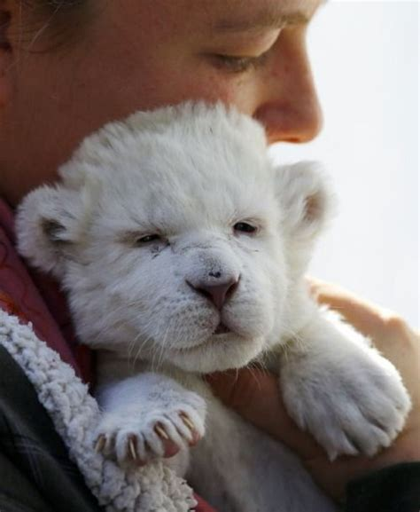 Our Amazing World Day Old White Lion