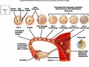 Image Result For Zygote Development Diagram