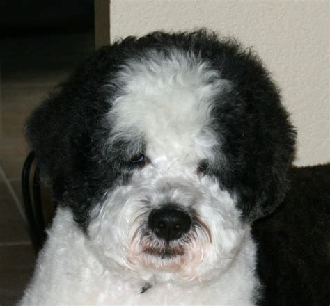 Dogs With Minimal Shedding by Grooming