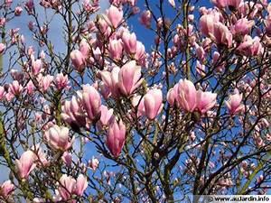 Fleur De Magnolia : magnolia magnolier conseils de culture ~ Melissatoandfro.com Idées de Décoration