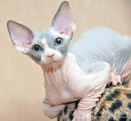 hairless cat the sphynx cat breed info