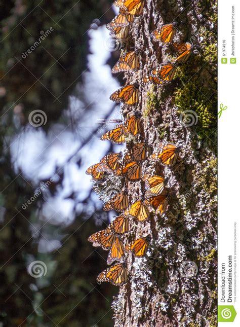 papillons de monarque sur le tronc d arbre photo stock image 61374318