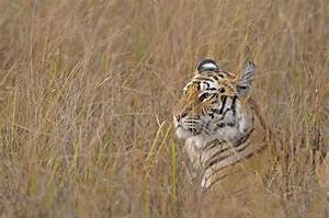 Tiger Wild Cat Face Profile Grass Camouflage Wallpaper