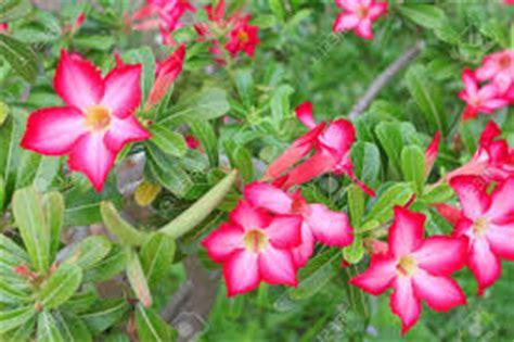 gambar supplier mawar bunga menghasilkan buah agregat