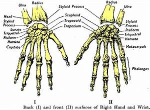 Upper Extremities Of The Skeletal System