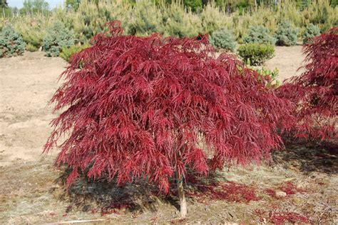 acer palmatum dissectum care acer palmatum crimson queen the happy gardeners
