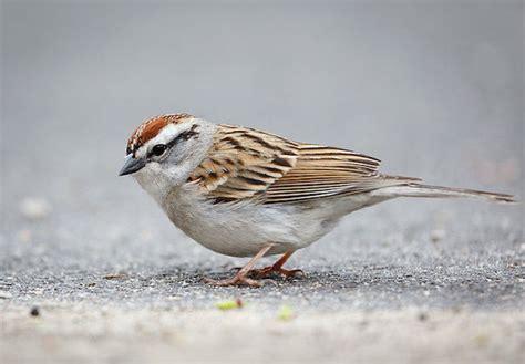 chipping sparrow 187 bird watcher s digest