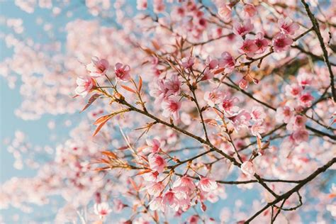 Cherry Blossom Image by Here S When You Ll See Philly Cherry Blossoms In Peak Bloom