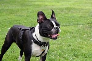Hundebekleidung Französische Bulldogge : franz sische bulldogge versicherung vergleichen ~ Frokenaadalensverden.com Haus und Dekorationen