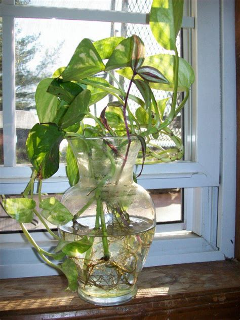 grow ls for indoor plants how to grow pothos devil 39 s ivy in water