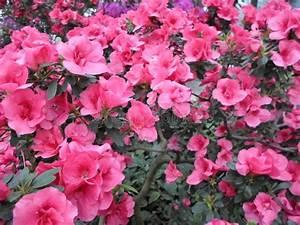 Blumen Im Frühling : lila blumen purpurrote blumen bl hender baum im fr hjahr rose bl ht rosa blumen rosa azaleen ~ Orissabook.com Haus und Dekorationen