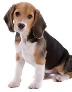 Happy Beagle Puppy