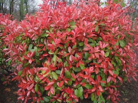 tip photinia photinia x fraseri red robin ornamental variegated pinterest robins photinia red