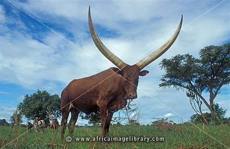 Photos and pictures of: Ankole Cattle, Uganda | The Africa ...