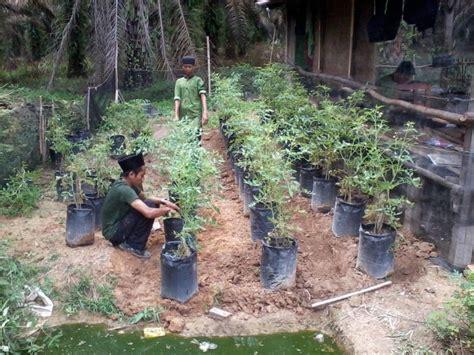 mudah menanam budidaya tomat potpolybag
