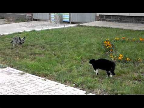 cat chases dog youtube