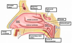 Parts Of Nasal Cavity