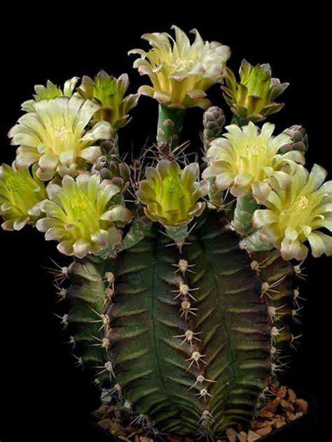 Gymnocalycium mihanovichii (Chin Cactus)   World of Succulents