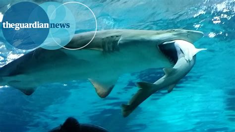cor 233 e du sud un requin d 233 vore compagnon d aquarium