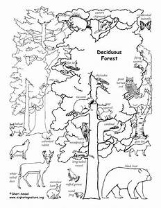 Deciduous Forest Animals (Labeled) – Coloring Nature