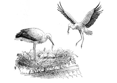 kleurplaat ooievaar op nest afb  images