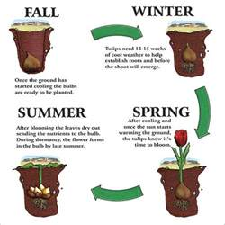 best 25 tulip bulbs ideas on into the water